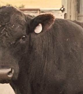 bull - Version 2